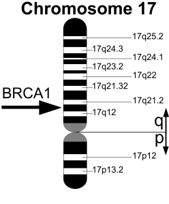 Location of the BRCA1 gene on chromosome 17